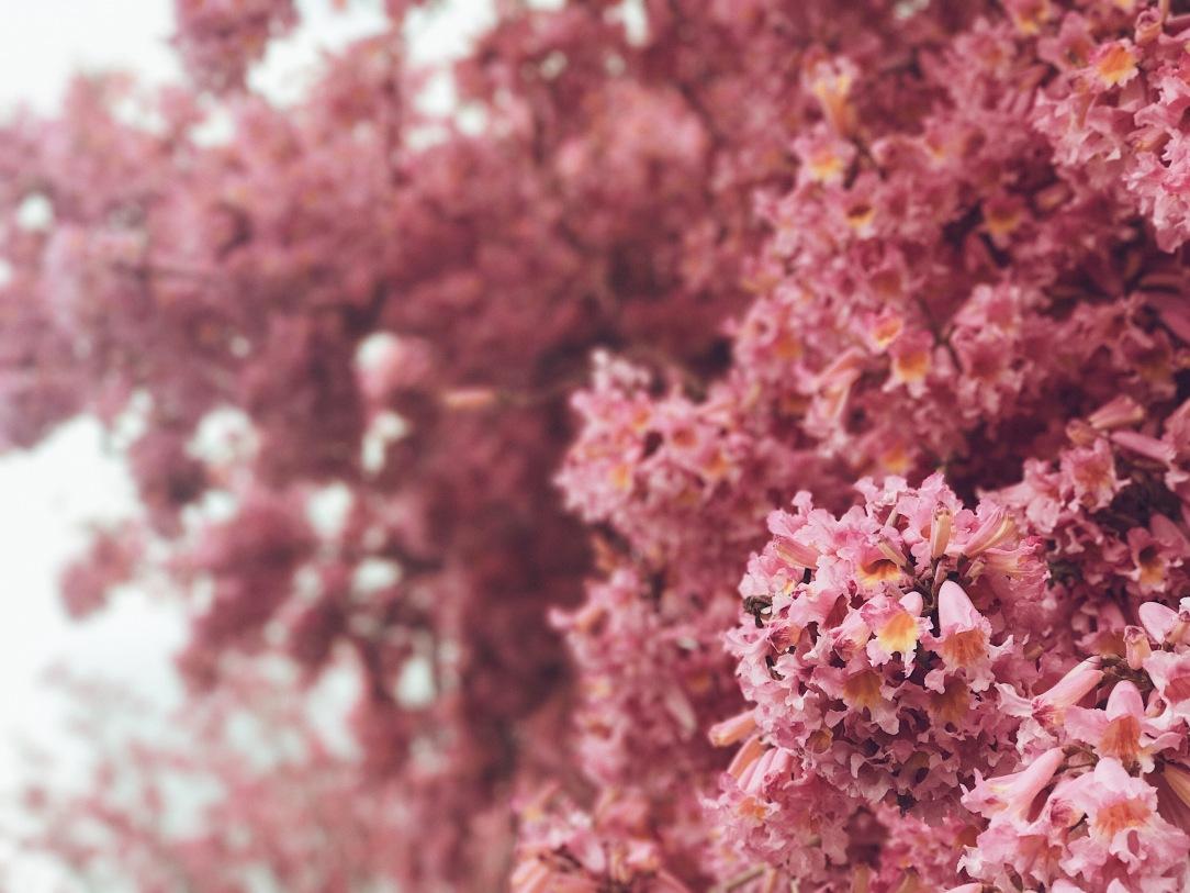 lavender trees in los angeles in full blush bloom