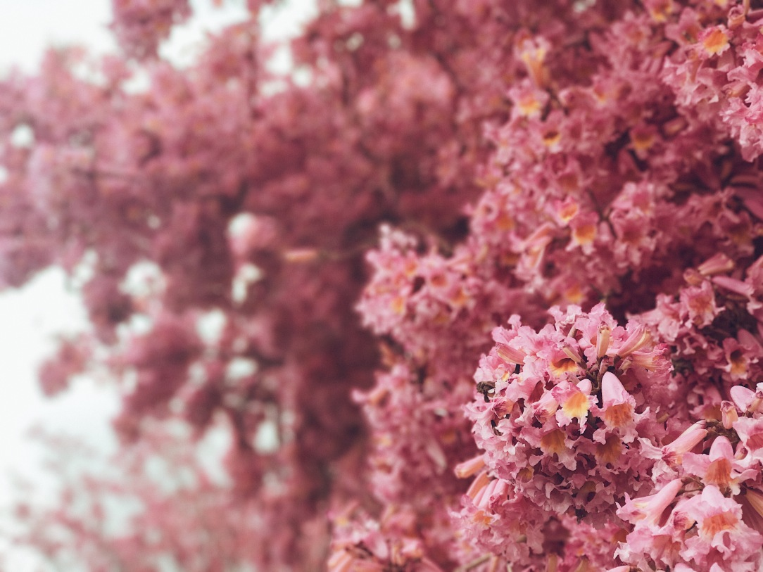 lavender trees in los angeles in full blush bloom