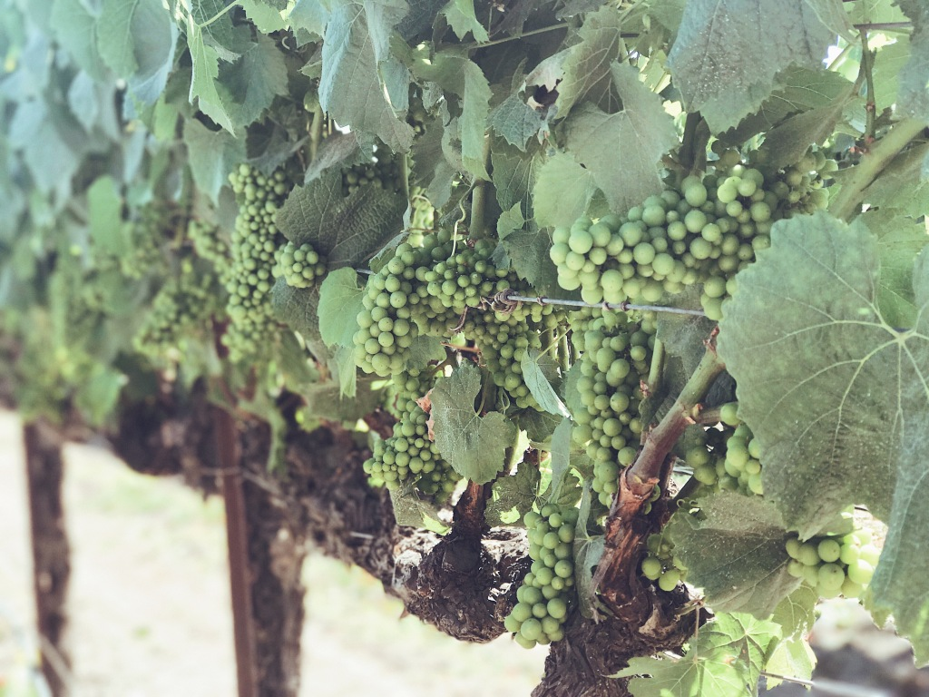 Grapes on the vine at Fess Parker Winery
