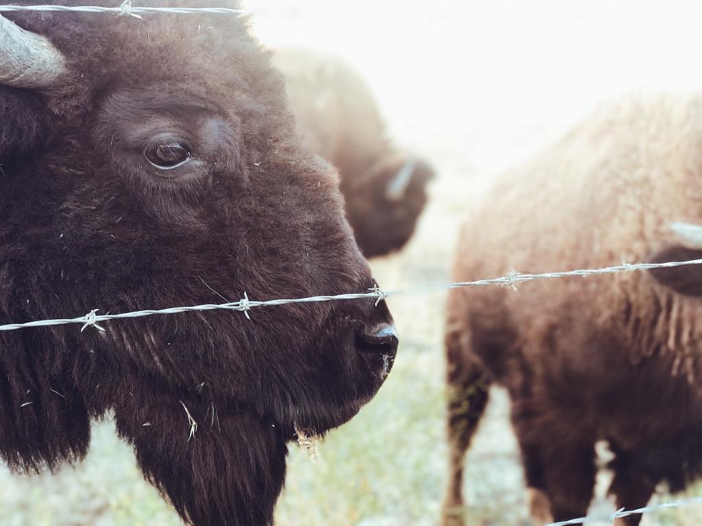 Los Olivos wild buffalo grazing