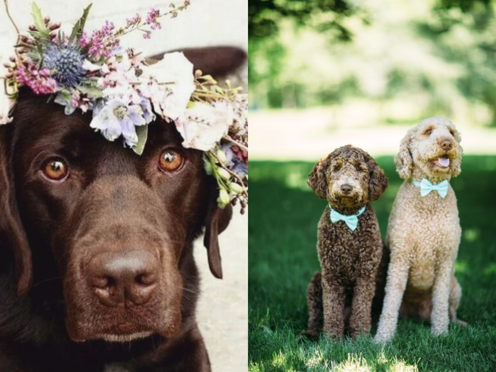 Chocolate labrador in wedding flower crown