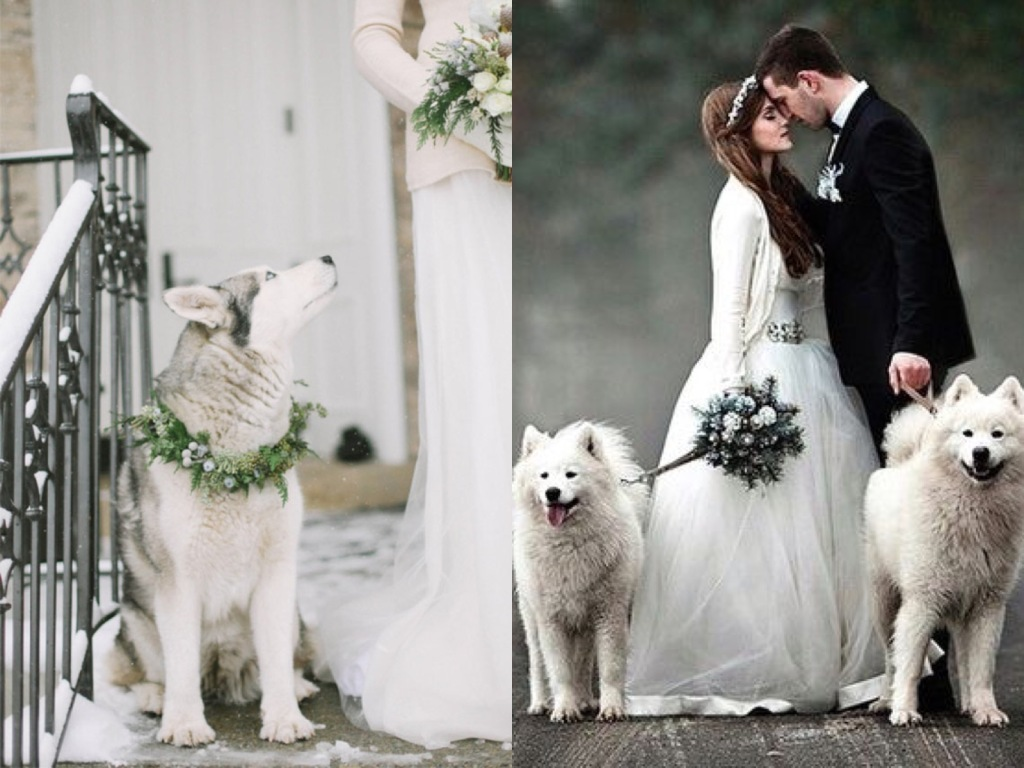 Siberian huskies with wedding garlands