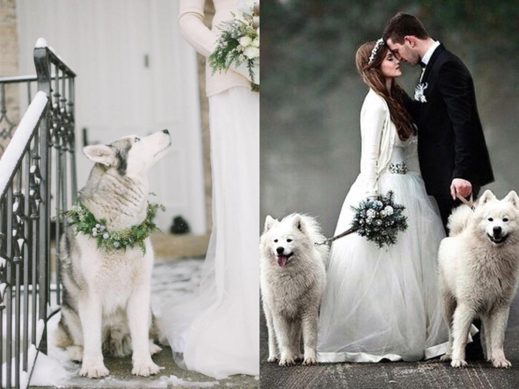 Siberian huskies with wedding garlands