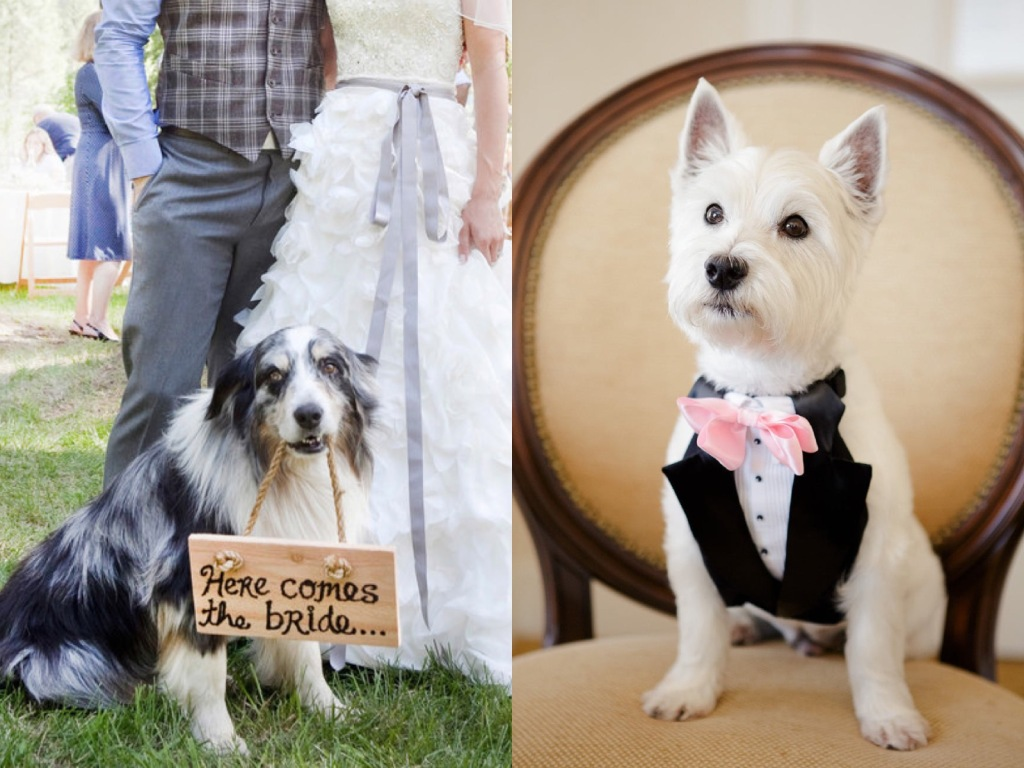 Australian shepherd wearing wedding garland