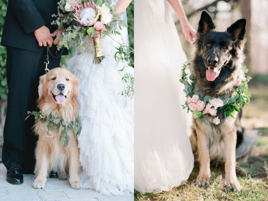 Golden Retriever and German Shephards in weddings